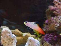 Firefish 库存照片