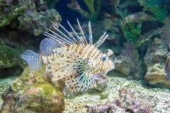 Firefish communs de Lionfish ou de diable Image libre de droits