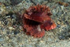 Firefish de Shortfin imagenes de archivo