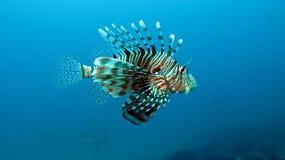 Firefish del diavolo Immagine Stock