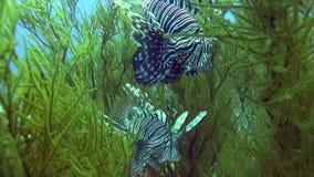 Firefish del diavolo? miglia del Pterois del lionfish del ommon nel corallo verde molle in Mar Rosso archivi video
