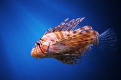 Firefish eller vanligt lionfish för jäkel Royaltyfri Bild
