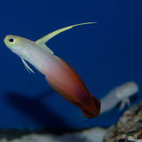 Firefish Goby Stock Image