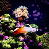 Firefish Stock Image