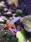 Firefish Royalty Free Stock Photography