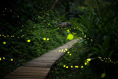 Fireflies in the bush at night in taiwan Stock Image