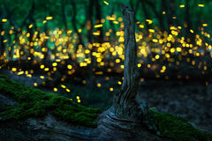 Fireflies Royalty Free Stock Photo
