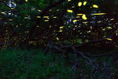 Fireflies flying in forest near Burgas city, Bulgaria. Fireflies in Strandzha mountain royalty free stock photo
