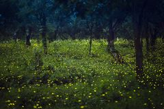 Fireflies flying in the forest at twilight. Lampyridae , Lightning Bugs Fireflies , Long exposure photo stock photo