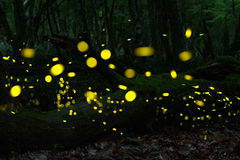 Fireflies at forest near Burgas, Bulgaria Royalty Free Stock Photos