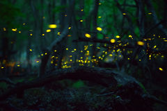 Fireflies at forest near Burgas, Bulgaria Stock Image