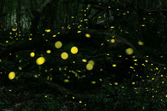 Fireflies at forest near Burgas city, Bulgaria Stock Photography