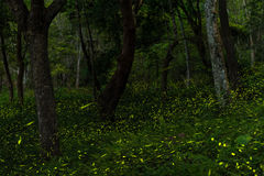 Fireflies in the forest of Taichung, Taiwan Stock Photo