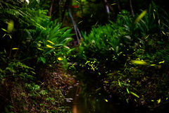 Fireflies In The Bush By Stream Royalty Free Stock Images