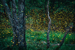 Fireflies Royalty Free Stock Photography