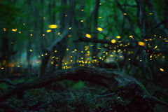 Fireflies in the summer Royalty Free Stock Images