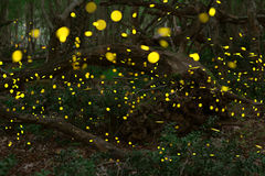 Fireflies in the summer at the fairy forest royalty free stock image