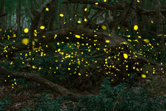 Fireflies in the summer at the fairy forest Stock Image