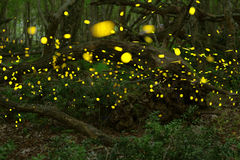 Fireflies in the summer at the fairy forest.  stock image