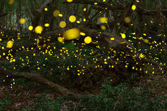 Fireflies in the summer at the fairy forest stock images