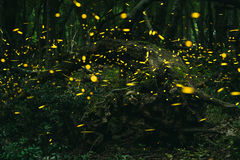 Fireflies in the summer at forest Royalty Free Stock Photos
