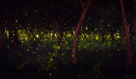 Fireflies in the summer at forest. Near Bangkok city, Thailand Royalty Free Stock Photography