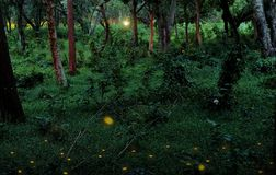 Fireflies in a tropical forest stock images