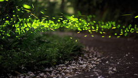 Fireflies and Tung flower Royalty Free Stock Photo
