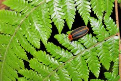 firefly Στοκ Εικόνες