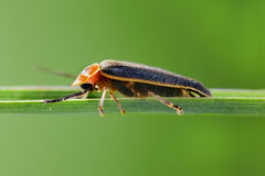 Firefly Stock Photography
