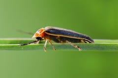 firefly Στοκ Φωτογραφία