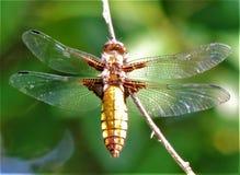 firefly Royalty-vrije Stock Fotografie