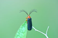 Firefly Closeup. Usual Firefly, Pterotus obscuripennis, with large antennae stock images