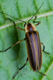Firefly - erro de relâmpago na folha Foto de Stock Royalty Free