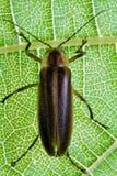 Firefly - erro de relâmpago na folha Imagem de Stock Royalty Free