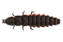 Firefly female larva species nyctophila reichii Stock Photography