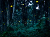 Firefly flying in the forest at night in Prachinburi Thailand. F. Irefly forest background Concept Royalty Free Stock Images