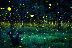 Free Firefly Flying In The Forest. Fireflies In The Bush At Night In Prachinburi Thailand. Long Exposure Photo. Royalty Free Stock Photo - 191427435