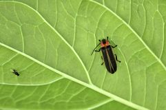 Firefly on a Leaf. Royalty Free Stock Photography