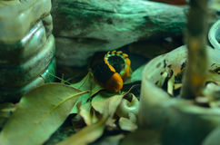Firefly or lightning bug Royalty Free Stock Photo