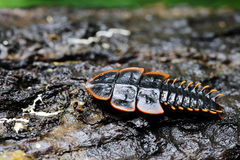 Firefly or Lightning bug in rainforest Royalty Free Stock Images