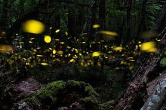 firefly Natt i skogen med eldflugor royaltyfria bilder