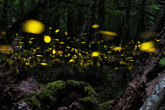 Firefly. Night in the forest with fireflies. Royalty Free Stock Images
