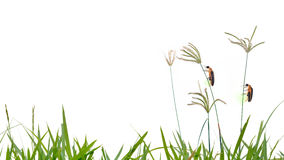 Firefly perching on Grass flower isolate on white background Royalty Free Stock Images