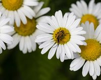 Firefly Togetherness on a Wild Daisy royalty free stock photography