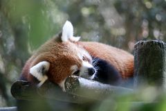 Firefox. The Red Panda, also called the Firefox or Lesser Panda laying in a tree royalty free stock image