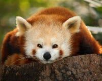 小firefox的熊猫 免版税库存照片