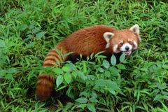 Firefox, il panda minore a Chengdu, Cina Fotografia Stock