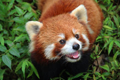 Firefox, the Red Panda in Chengdu, China. The Red Panda, Firefox in Chengdu, China Stock Photo