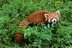 Firefox, the Red Panda in Chengdu, China. The Red Panda, Firefox in Chengdu, China Stock Photography